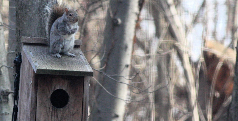 Squirrel on owl box