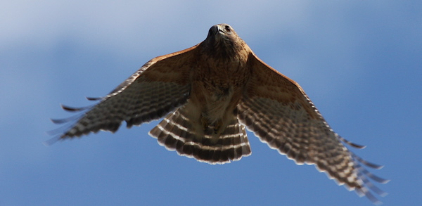 Red-shouldered hawk 01