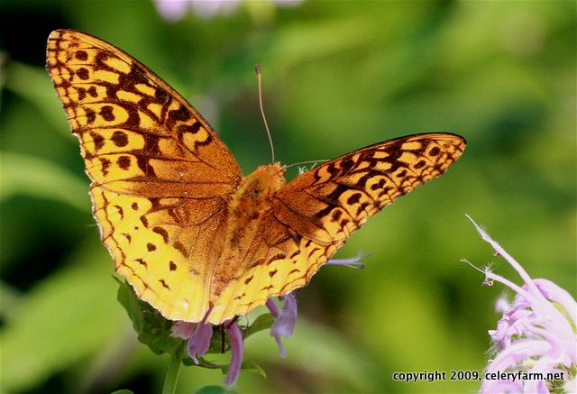 Butterfly cf