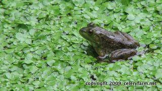 Green frog cf
