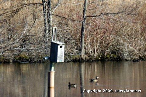 Wood ducks 0331