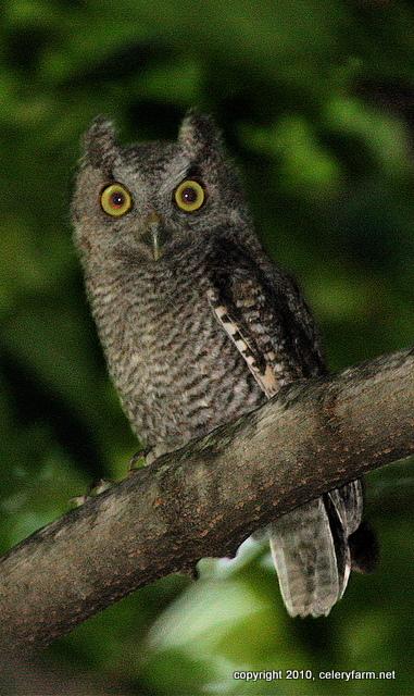 Young screech owl jw