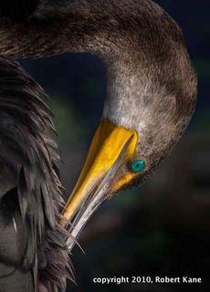 Preening-Cormorant