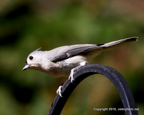 JW Tufted titmouse