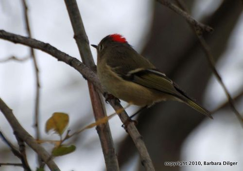 KINGLET, RC MALE DSC_0148_cropED