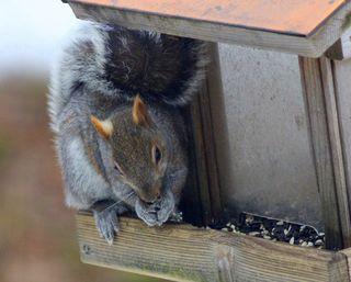 Squirrel jw-2
