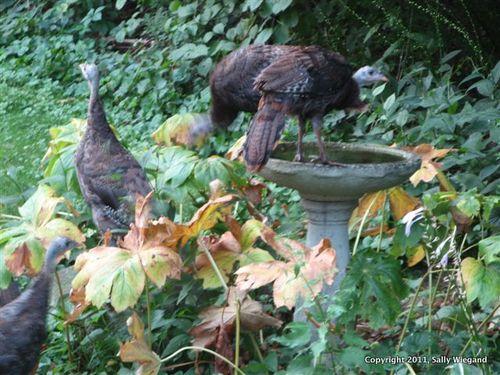 Turkeys 006-1