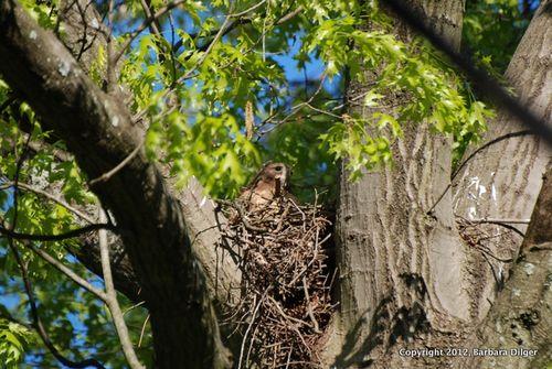Hawk, RS Laura on nest 42712DSC_0313