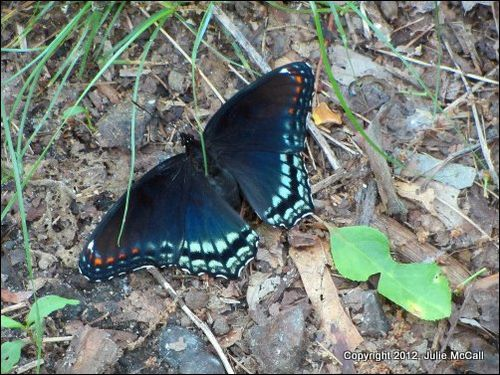 2012 05 20 - red-spotted purple