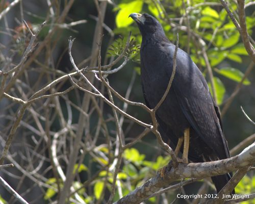 Common Black Hawk_1376