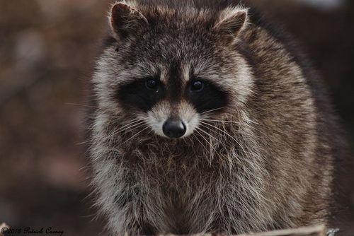 Raccoon1-001