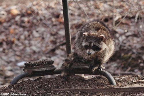 Raccoon3-001