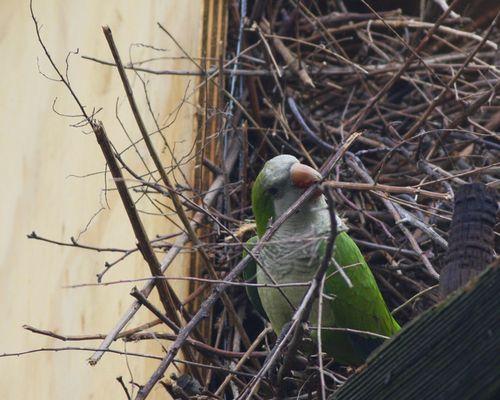 Monk Parakeet JW