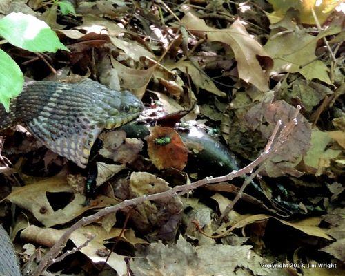 Snake eating frog memes for Snake eating fish