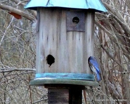 1-blue bird-1