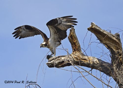 Osprey(Pandion haliaetus) landing on a tree overlooking Blue Heron Pond @ Allendale Celery Farm(1)