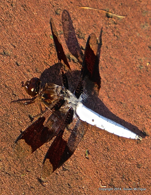 Mctigue dragonfly-001
