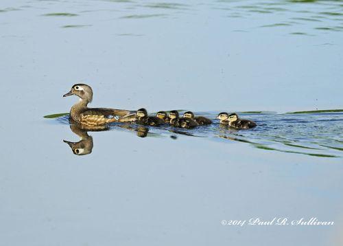 Wood ducks(Aix sponsa)(female) & her ducklings following her on Lake Appert @ Allendale Celery Farm, Allendale, NJ