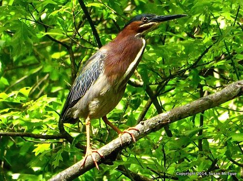 Green heron closter