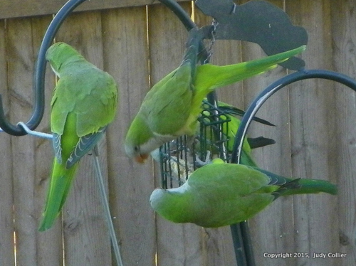 Judy Collier Monk Parakeets 2-001