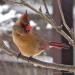 1-Female cardinal B30P1130218(1)