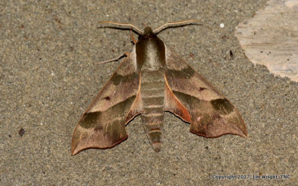 Hawk Moth  (likely Virginia Creeper Hawk Moth)