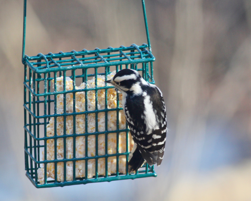 Jw downy woodpecker_9891