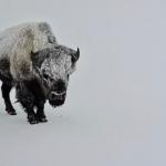 Bison cold