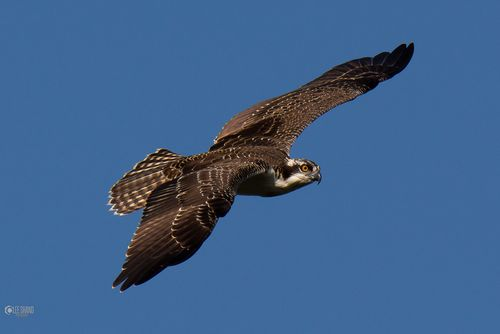 Shand osprey 2-001