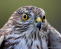 Sharp-shinned hawk JW-001