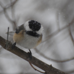 Black-capped Chickadee  Barbara Dllger  DSC_1049