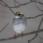 3 White-throated SPARROW Barbara Dilger (1)