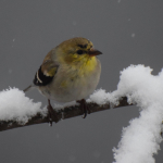 4 GOLDFINCH  MY YARD SNOW   31017DSC_1142_crop (1)