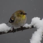 4 GOLDFINCH  MY YARD SNOW   31017DSC_1142_crop (1)