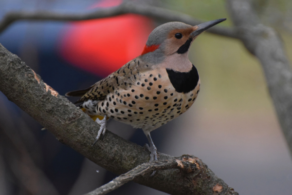 2 Northern Flicker  Barbara Dilgerjpg (1)