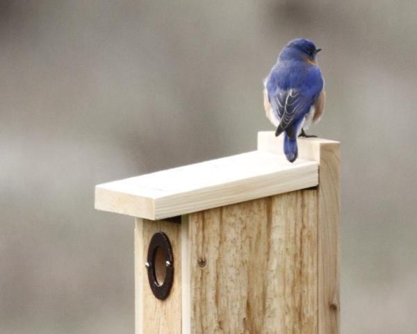 JW maie Bluebird atop nesting bo