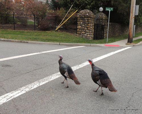 1-Turkeys 1123 JW a