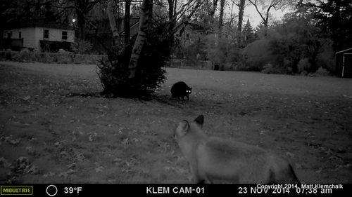 Silver 2 confronts fox (B) 11-23-14