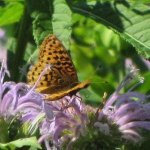Fritillary monarda 2015-07-12