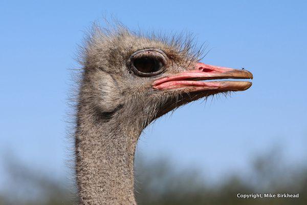 1-Ostrich nature