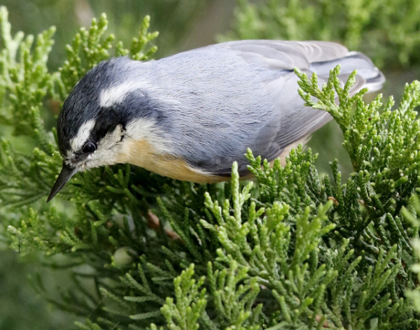Red Brested Nuthatch-004