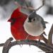 1-Titmouse and Cardinal. B30jpg