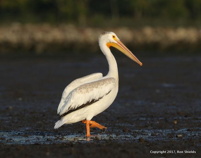 Shields pelican copy-001