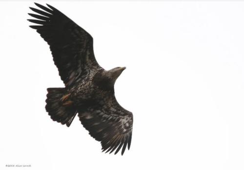 Alice Bald Eagle 021718
