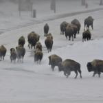 Bison at Hot Springs resort