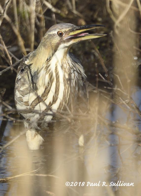 American bittern with its beak open  (vertical) @ Allendale Celery Farm