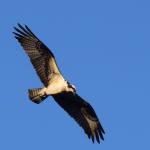 Osprey  cf 42318DSC_0097_crop(1)