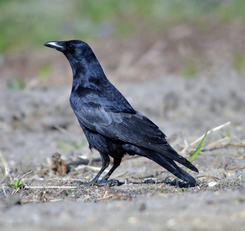 Fish Crow 2 Howard Eskin