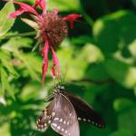 TNC KAY 080418 Spicebush Swallowtail_ (1)