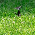 TNC KAY 080418 Black Swallowtails_MG_9499 (1)